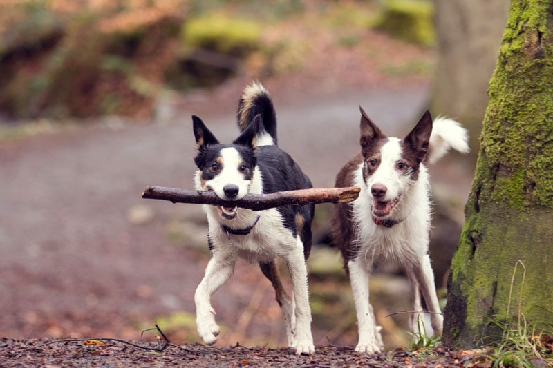 dogs woods border collies engagement shoot